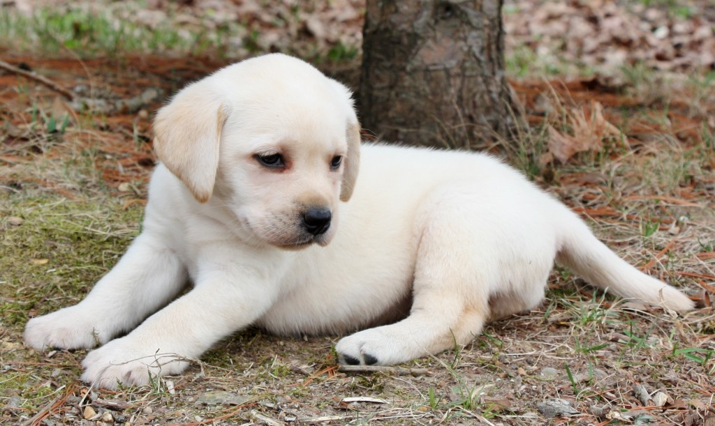 Lab puppies for sale st louis